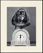 DACHSHUND PUPPY ON WEIGHING SCALES CHARMING LITTLE DOG PRINT READY MOUNTED