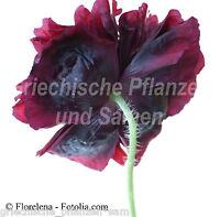🔥 Mohn black Peony 80 frische Samen schwarz ** gefüllte Blüte **Papaver