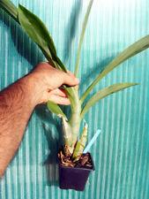 Catasetum 'Pierre Couret' x planiceps, orchidée, Orchid