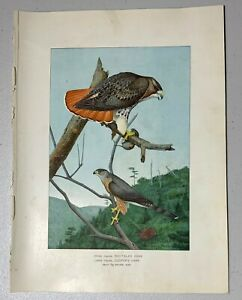 Fuertes 1902 Antique Print: RED-TAILED HAWK, BIRD, NYS FOREST COMM. 7th Ed.