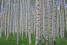 Silver Birch, large 5ft+, beautiful native tree, Betula pendula grown peat free