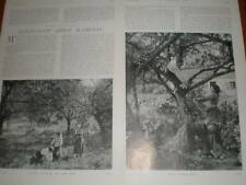 Article France Normandy Apple harvest 1902