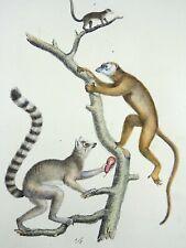 1824 Lemurs - K.J. Brodtmann ORIGINAL hand colored FOLIO lithography