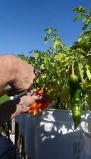 30 seeds Aji Amarillo pepper from Peru (Capsicum baccatum)