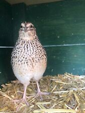 24 Pure Coturnix Quail Hatching Eggs