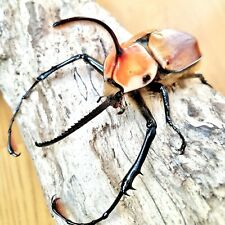 Caliper Rhino Beetle • (Golofa porteri), larvae - feeder food