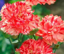 Carnation Seeds Chabaud Orange Dianthus Seeds 50 Flower Seeds
