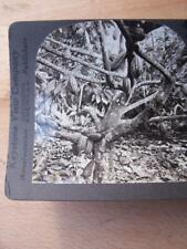 Stereo View Stereo Card - Cocoa Pods Dominica West Indies