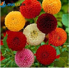 100 Dahlia seeds - Pompon~beautiful gardens, gorgeous flower , mix color.