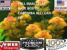 CABOMBA FULL SMALL FLAT RATE BOX Easy Aquarium Plant aquascaping planted tank