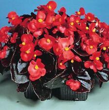 10 pcs Begonia  'Rose red'  seeds(coating) bonsai Flower
