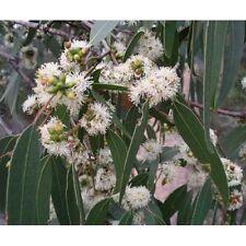 Messmate  200 Seeds Hardy Koala Eucalypt Food & Habitat Evergreen Tree