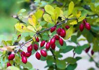 Sauerdorn - Berberis vulgaris - European Barberry - 100+ Samen - Saatgut - Seeds