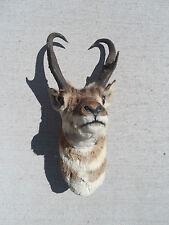 Male Buck Antelope Stuffed Head Big Game Mount Good Condition Wyoming South Dak