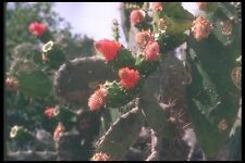 090086 Flowering Cactus A4 Photo Print