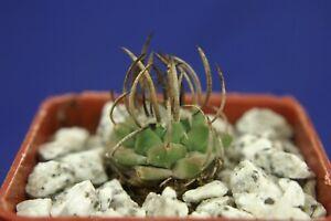 TURBINICARPUS ALONSOI =1/3= cacti kakteen  肉质植物 พืชฉ่ำ #5432+