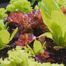 Lettuce Seeds - Colorful blend - 2 grams approx. 2,000 seeds