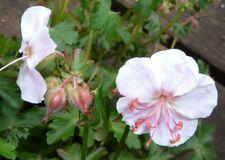 Hardy Geranium Pink Flower Groundcover Perennial Cranesbill v. Biokovo