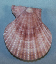 PECTEN GLORIOSA 58.58mm SUPER CHOICE SPECIMEN Broome, Western Australia