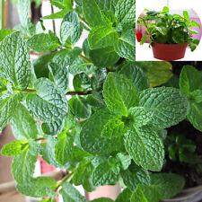 Lemon Balm Seed 30 Seeds Melissa Officinalis Mentha Citrata Aromatic Plants D031