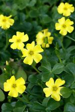 Yellow Flowers Kalanchoe 100 PCS Home Plants Bonsai Summer Perennial Garden