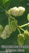 White Mulberry Seeds Morus alba Ukraine 50 seeds S0932