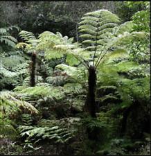 Cyathea truncata, Punaluu cyanea