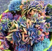 100pcs Japanese Succulents Seeds Rare Indoor Flower Mini Cactus Seeds