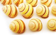 "6 Small Yellow Land Snail Shells 3/4""-1"" (18-25mm) Seashells Hermit Crabs Beach"