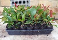 HEDGE PLANTS PACK -  20 x 50mm TUBES PHOTINIA ROBUSTA