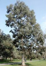 Eukalyptus-Bäume für volles Sonnenlicht