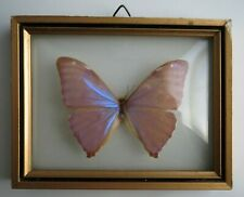 VTG Mounted Pink Purple Luminescent Butterfly Display Convex Glass Framed Brazil