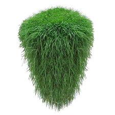 Japanischer Garten Hängebambus 2 Pflanzen Hängender Bambus Winterhart Setzlinge