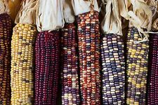 Maîs à épis multicolores varié