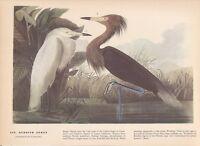 """1942 Vintage AUDUBON BIRDS #256 """"REDDISH EGRET"""" WOW! Color Art Plate Lithograph"""