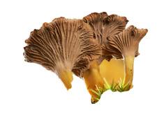 Mycélium de Chanterelle ou Girolle Grise, Spores de Chanterelle 5 Litres