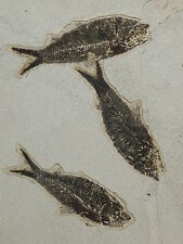 A BIG School of FOUR! 50 Million Year Old Fish Fossils in HUGE Matrix! 4688gr e