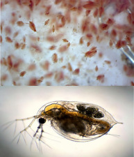 Starter Dafnia DAPHNIA inoculo dafnie daphnie cibo alimento vivo per pesci