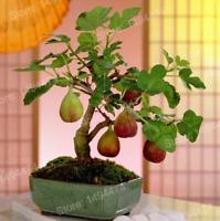 100 PCS Seeds Rare Tropical Mini Fig Tree Bonsai Plants Fruit Free Shipping 2019