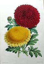 CHRYSANTHEMUMS, James Andrews Antique Botanical Flower Print 1867