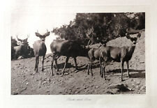 Band Of Blacktail Deer. Photogravure from photo by A. G. Wallihan. Early 1900's