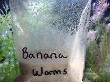 New listing Banana Worms 2oz Banana Worm Starter