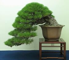 Japanese Black Pine 10 seeds * Pinus thunbergii * Bonsai * Ornamental * CombSH