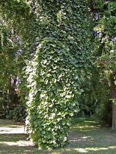 Aristolochia durior DUTCHMANS PIPE VINE Exotic SEEDS!