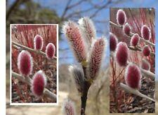 Weidekätzchen rot winterharte exotische Pflanzen für den Garten Balkon Blumen