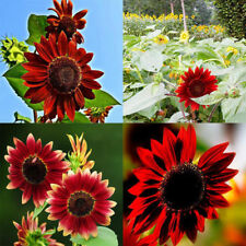 40Pcs ''Red Sun'' Sunflower Seeds Fortune Flower Seeds Garden Yard Plant Decor