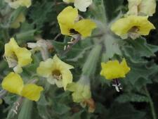 Hyoscyamus aureus 'Golden Henbane' 100 seeds