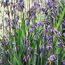PAROO LILY SEED DIANELLA CARULEA EDIBLE FRUIT NATIVE FLAX HARDY 20 SEEDS