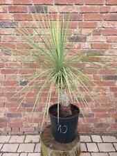 Yucca Linearifolia Nr. 10 ( No Rostrata )