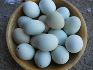 3 DOZEN NATURAL COLORED BLOWN CHICKEN EGGS MEDIUM TO LARGE SHADES OF BLUE/GREEN